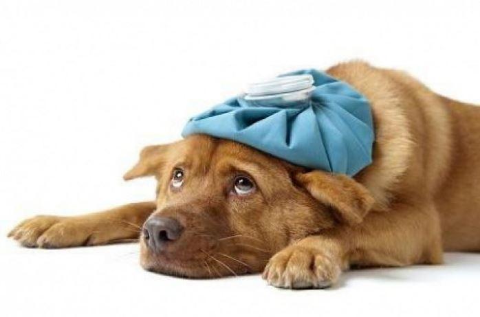 Cane influenza contagiosa