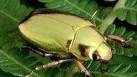Il segreto del perché i coleotteri centro-americani come lo scarabeo dorato sembrano fatti di oro puro, è stato scoperto dai fisici dell'Università di Exeter.I coleotteri dorati, che hanno un brillante color oro metallico, sono molto apprezzati dai collezionisti, fino ad ora le ragioni della loro cangiante tonalità dorata non era […]