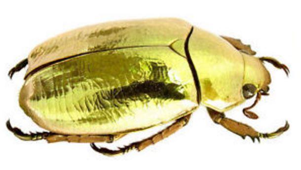 Chrysina-resplendens-scarabeo-dorato