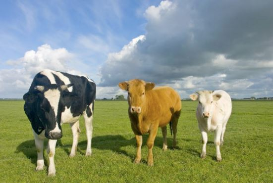 Mucche vaccino HIV