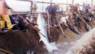 Thai Union Group PCL, una delle più grandi aziende al mondo nel settore dell'industria ittica ha annunciato il suo impegno ad adottare misure volte a combattere la pesca eccessiva e illegale, e a migliorare le risorse di sostentamento di centinaia di migliaia di lavoratori in tutte le catene di distribuzione […]