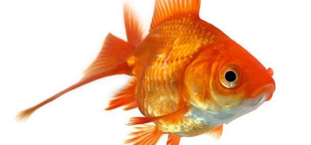 L'alcol a certe latitudini potrebbe sembrare un modo comprensibile per sopravvivere ai lunghi inverni, per il pesce rosso, l'ubriacarsi è una questione di vita o di morte. I pesci rossi che vivono in fondo a laghetti, stagni o altri ambienti acquatici ghiacciati non hanno accesso all'ossigeno, riescono a sopravvivere grazie […]