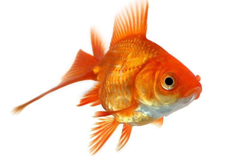 Evoluzione del pesce rosso si ubriaca per tre mesi per for Carpa pesce rosso