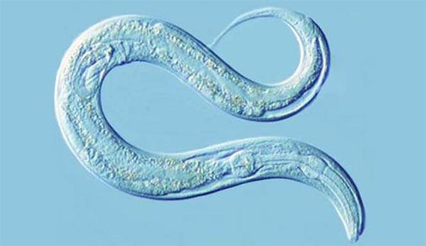 C.-elegans-(verme-nematode)