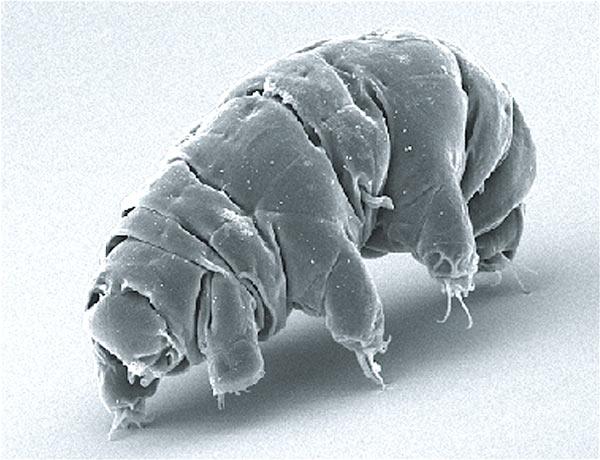 Tardigrado Macrobiotus shonaicus