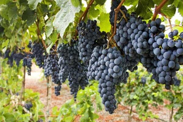 Uva grappoli
