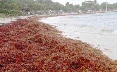 Alghe sargassum Caraibi