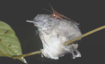 Falena beve lacrime dell'uccellino addormentato