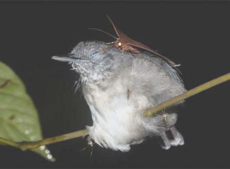Biologia: le falene bevono lacrime dagli occhi degli uccelli (Foto)