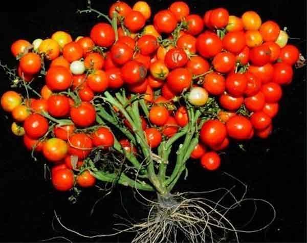 Nuovo tipo di pomodori coltivati in giardino