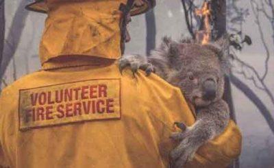 Koala incendi in Australia